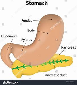 Stomach And Pancreas Labeled Diagram Stock Vector Illustration 180558644   Shutterstock