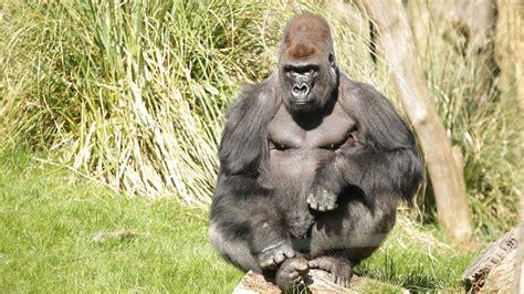 zoo london animals zsl gorilla animal zoos kingdom silverback species kumbuka experience zoological