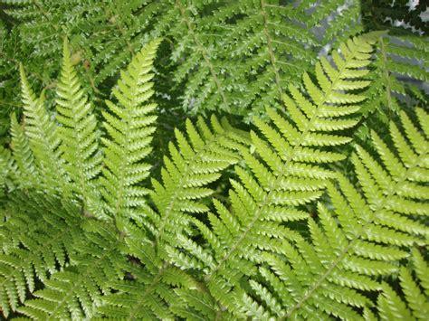 danger garden our dicksonia antarctica and a few local ferns