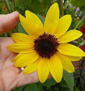 "Helianthus annuus ""Delta Sunflower"" - Buy Online at Annie ..."