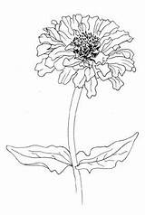 Zinnia Flower Drawing Flickr Coloring Flowers Drawings Zinnias Pages Doodle Outline Draw Tattoo Watercolor Ink Elegans Line Field Welch Corinne sketch template