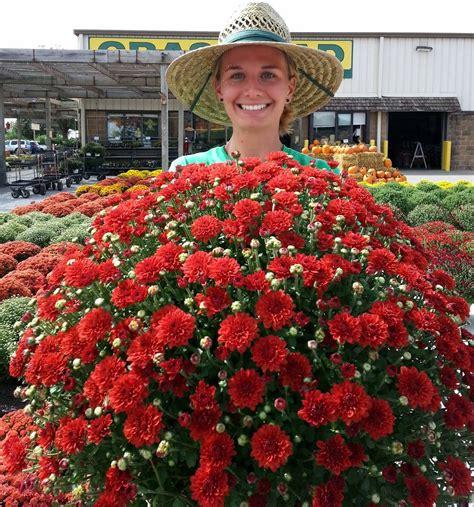 The Grass Rhizome: Hardy Mums or Garden Chrysanthemums ...
