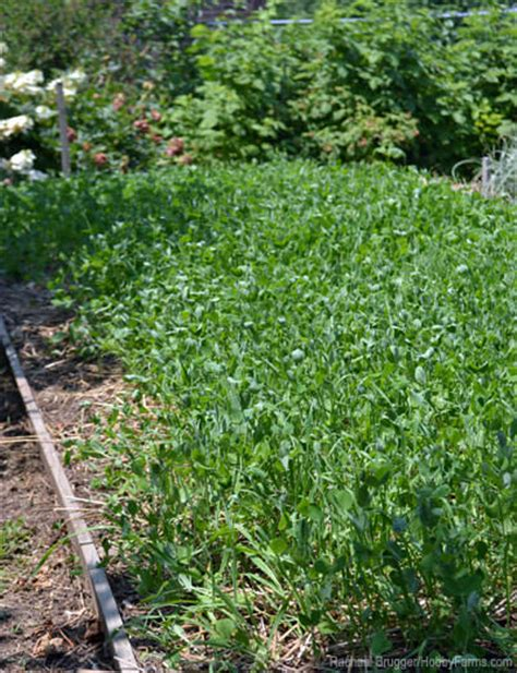 5 cover crops for your small scale garden hobby farms