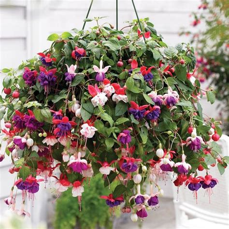 hanging basket flowers best plants for hanging baskets balcony garden web