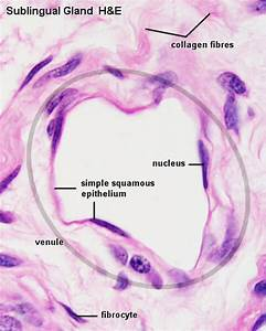 Cardiovascular System - Blood Vessel Development