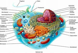 3d Diagram Of The Cell