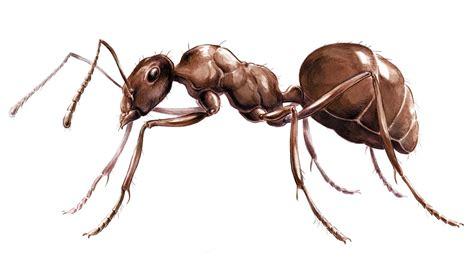 ant ants anatomy cob missouri department