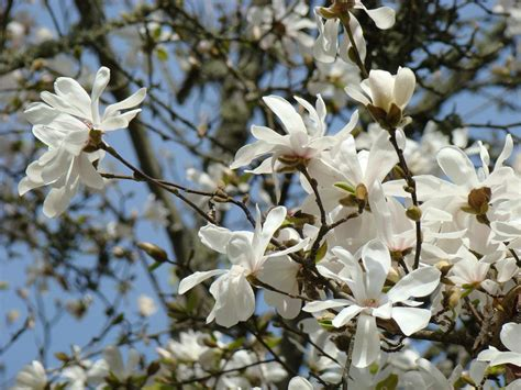 tree white flowers the gallery for gt white magnolia flowering trees