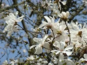 Magnolia Flowers White Magnolia Tree Flowers Art Prints by ...