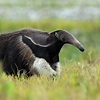 Giant Anteater (Myrmecophaga tridactyla) | about animals