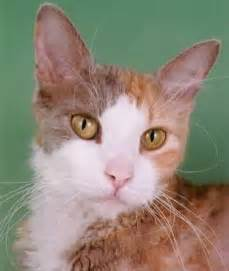 allergy free cats 10 hypoallergenic cats cats tips advice me