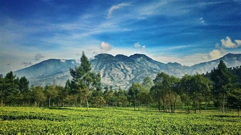 travelingyukcom deretan kebun teh  indonesia
