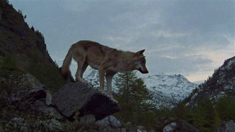 Wolf  Mountains  Alps  Hd Stock Video 665779505