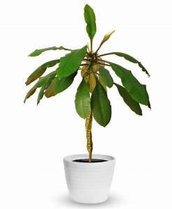 Avocado Baum Pflege : spuckpalme pflanzen hauspflanzen garten pflanzen und blumen pflanzen ~ Orissabook.com Haus und Dekorationen