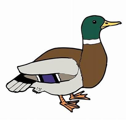 Duck Clipart Clip Cliparts Ducks Male Transparent