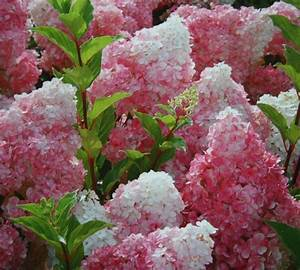 Hortensie Wims Red : best 25 hydrangea paniculata vanille fraise ideas on ~ Michelbontemps.com Haus und Dekorationen