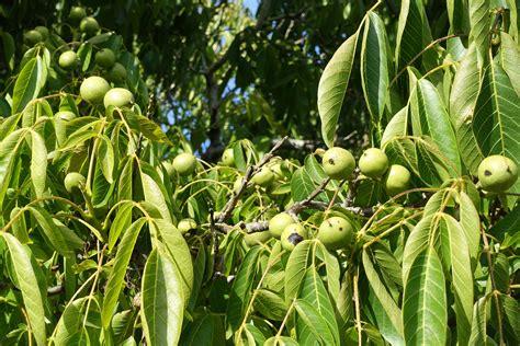 walnut tree burbank s walnut tree and mine pillow road