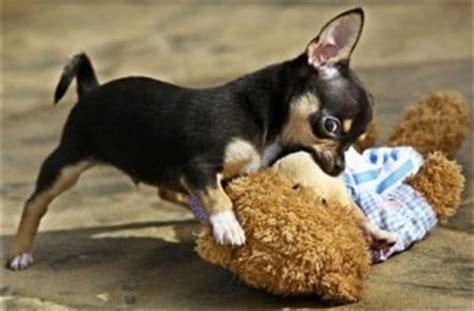 chihuahua rescue chihuahua rescue page
