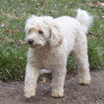 woodle welsh terrier  poodle mix spockthedogcom