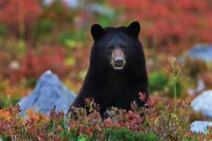 10 Black Bear Facts