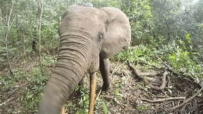Elephant Collar Field Tracking Anaesthesia Knocks Wildlife