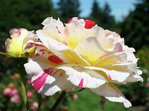 Rose Garden Pictures Flowers Fyfpyuh decorating clear