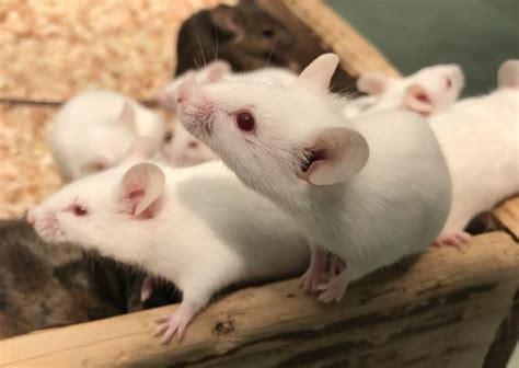 マウス ラット 違い