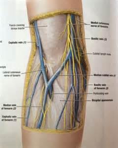 Anatomy Antecubital Fossa Veins
