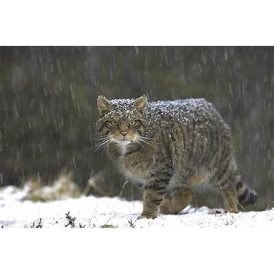 About wildcats - Scottish Wildcat Action