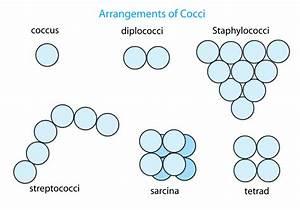 Coccus - Wikipedia