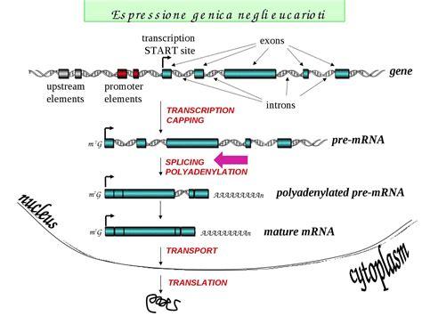 dispense biologia molecolare splicing studio dispense