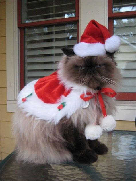 kittens christmas outfits  christmas costumes  cats