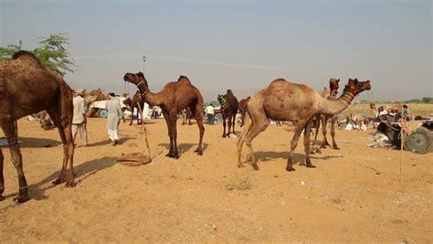 Pushkar Camel Festival Background by Camel Festival In Bikaner India Stock Footage