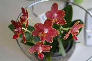 Orchidee Blüht Nicht Mehr : orchideen richtig w ssern diese rombergs ~ Lizthompson.info Haus und Dekorationen