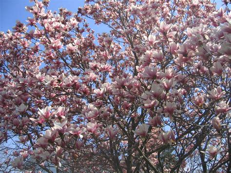 valley view farms plant   week magnolia  soulangiana