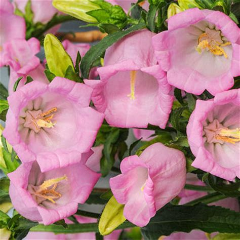 Glockenblume Rosa by Marien Glockenblume G 228 Rtner P 246 Tschke Auf Blumen