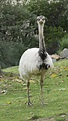 Leucistic Greater Rhea (Rhea americana) | Animals ...
