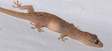 house gecko file house gecko jpg wikimedia commons
