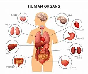 Curious Kids  Why Can Some Organs Regenerate While Others