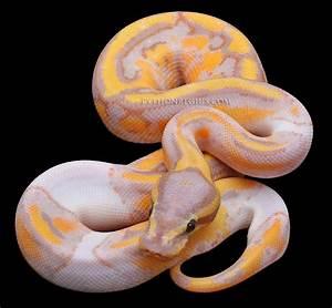 Constrictors Unlimited- Python regius -Piebald Ball Python ...