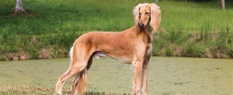 saluki dog breed profile petfinder