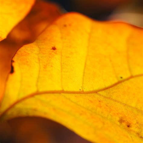 Orange Leaf Wallpaper by Orange Leaf Wallpaper