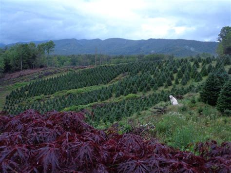 wintergreen farm tennessee christmas tree growers