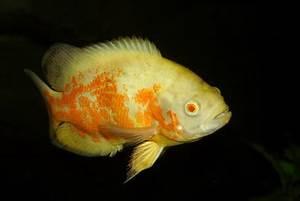 Los diez principales peces carnívoros de acuario | eHow en ...