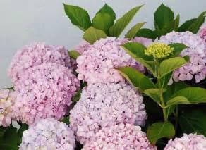 hydrangea popular ornamental plants the fancy flora
