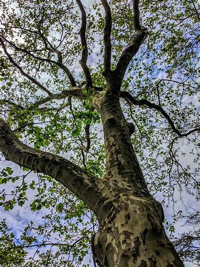 Sycamore Tree Trees Growing Care Facts Grow