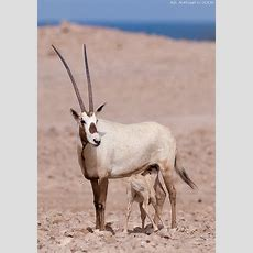 المها العربي  Arabian Oryx  Press L & F11 For Best View T… Flickr