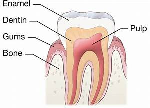 Describe The Parts Of Our Tooth With The Help Of Labeled Diagram - Science