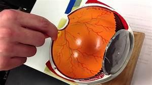 Optic Disc  Macula Lutea  Fovea Centralis  Rods And Cones