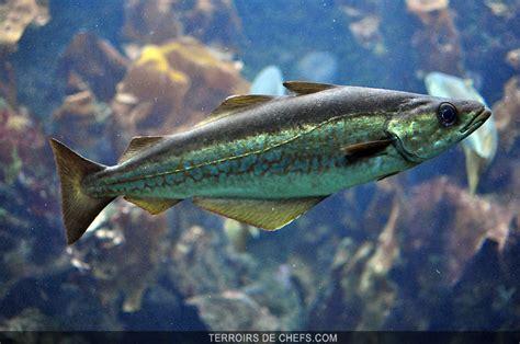 cuisiner de la morue le lieu jaune un poisson au gout délicat